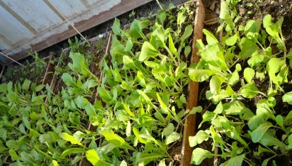 合民牌土壤提质液SEI-FV型在蔬果种植中的应用